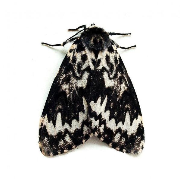 Nonne (Lymantria monacha), Lymowit