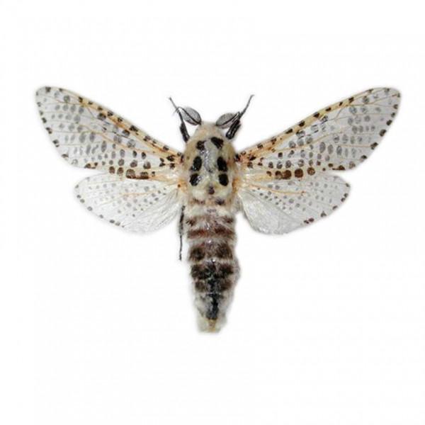 Leopard moth (Zeuzera pyrina)
