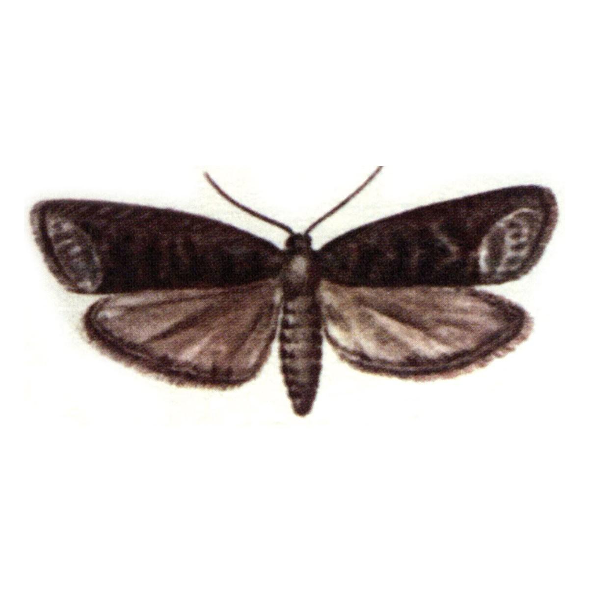 Plum fruit moth (Grapholita funebrana)