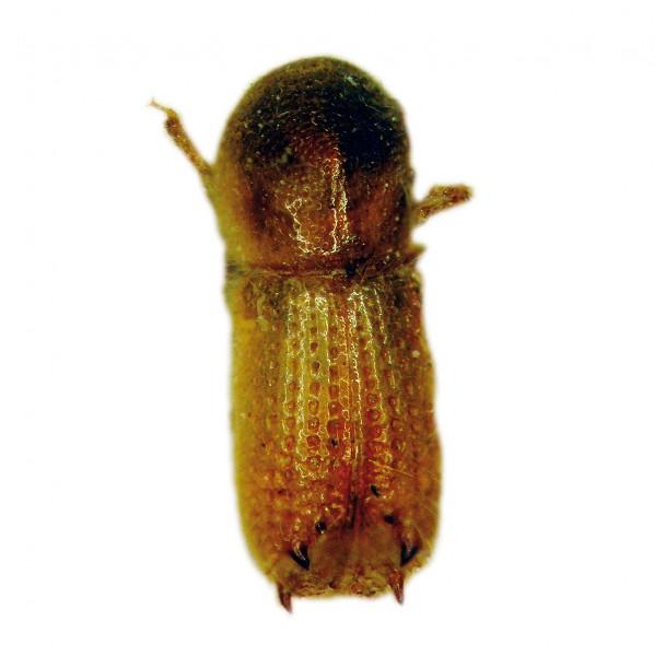 Silver fir bark beetle (Pityokteines curvidens), Curviwit