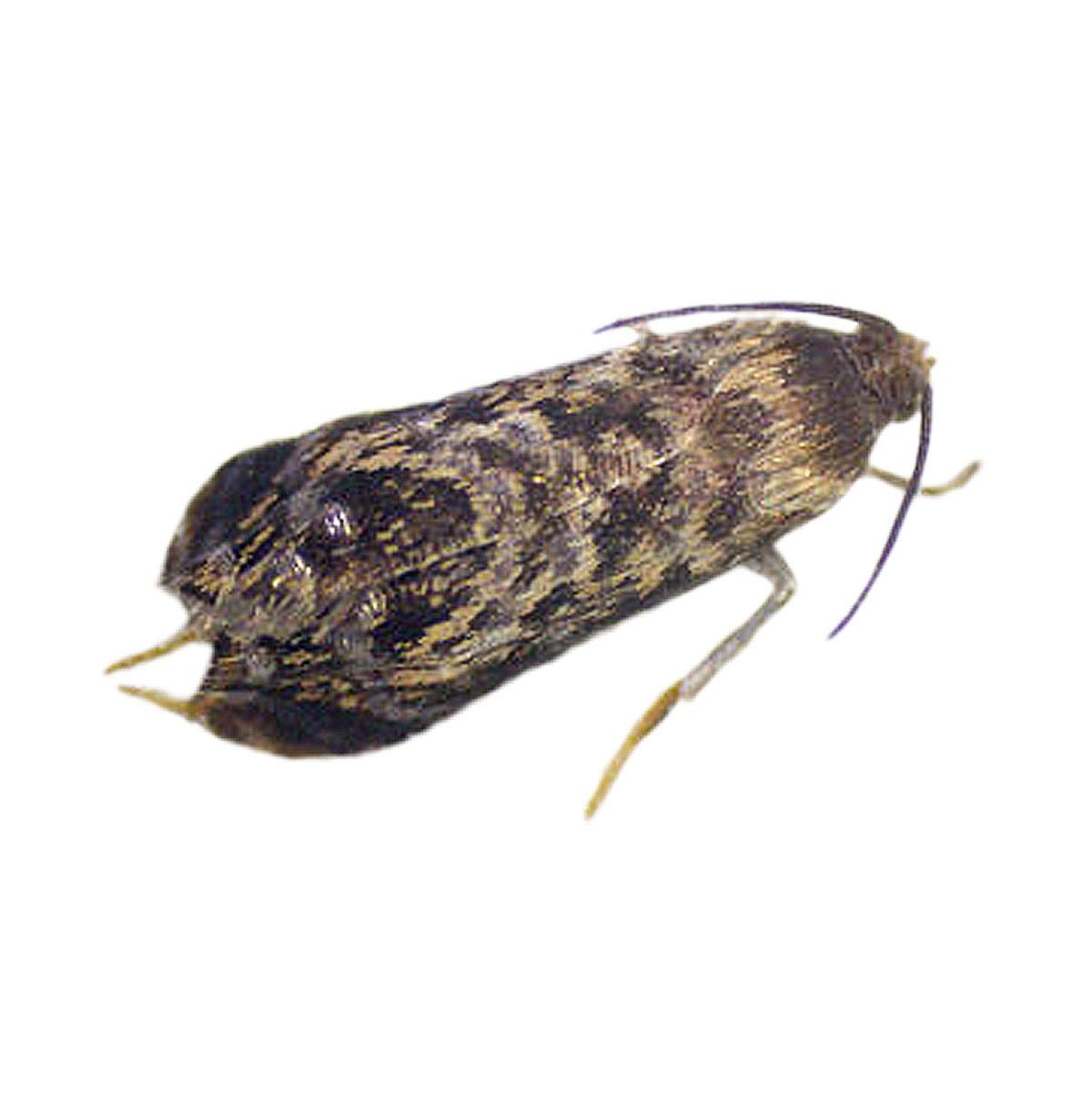 Oriental fruit moth (Grapholita molesta)
