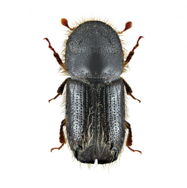 Larch bark beetle (Ips cembrae), Cembräwit