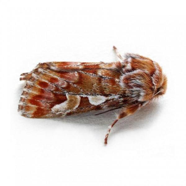 Panowit - Pine beauty moth (Panolis flammea)
