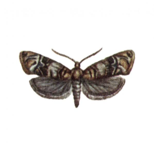 Bekreuzter Traubenwickler (Lobesia botrana), Lobewit
