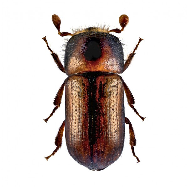 Striped ambrosia beetle (Trypodendron lineatum)