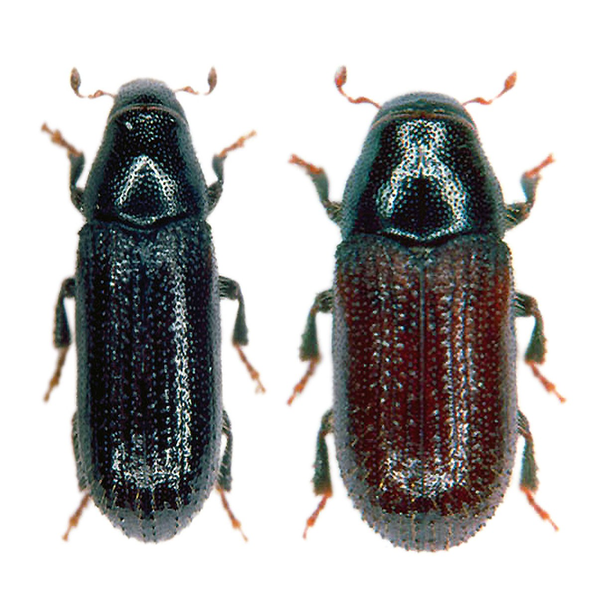 Common pine shoot beetle (Tomicus piniperda, Tomicus minor), Tomowit