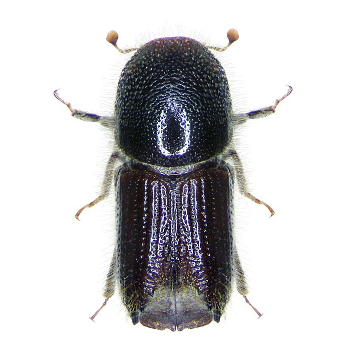 Ipsowit Standard, European spruce bark beetle (Ips typographus)