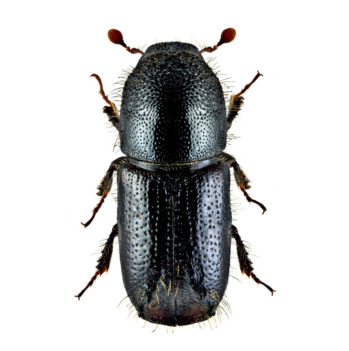 Eight-toothed spruce bark beetle (Ips amitinus), Amitinuswit
