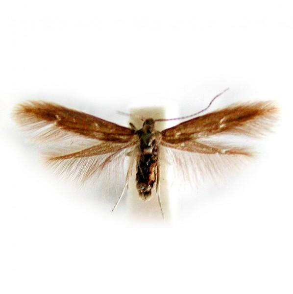 Lärchenminiermotte (Coleophora laricella), Colowit