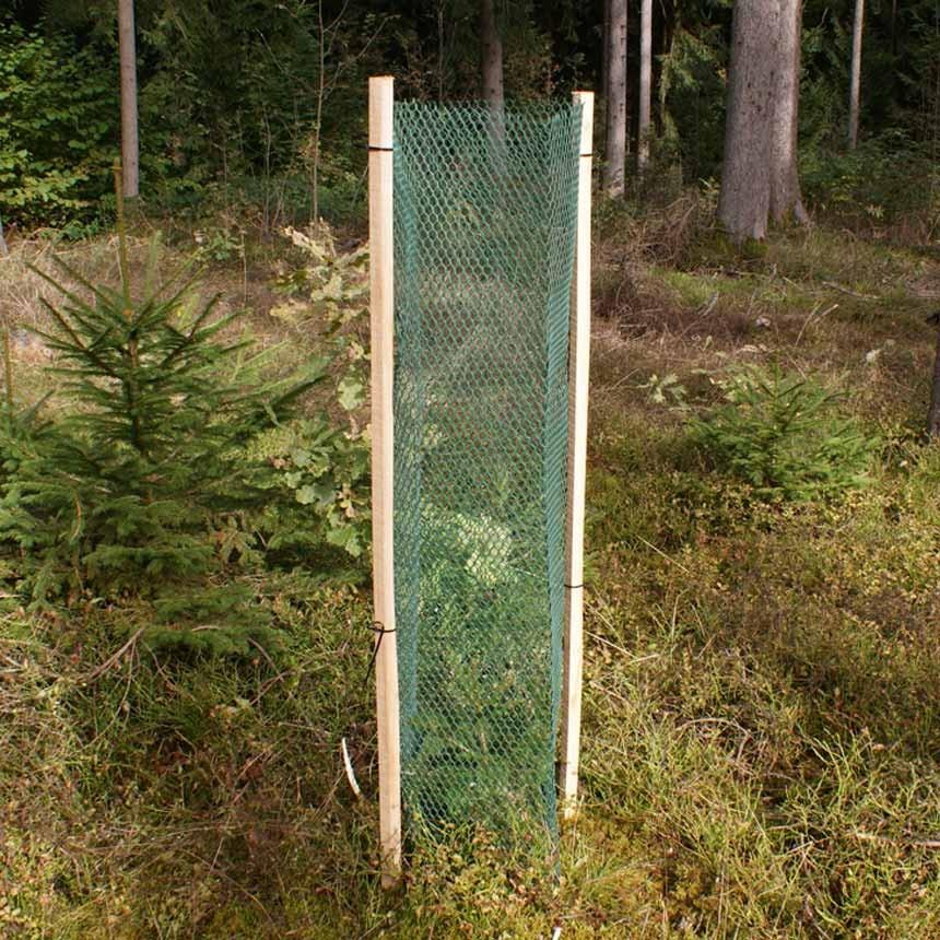 Rauten Freiwuchs 600 - 120 cm