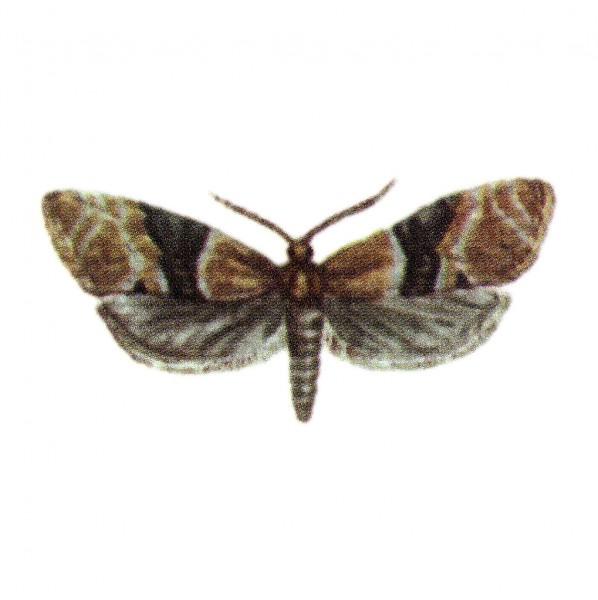 Einbindiger Traubenwickler (Eupoecilia ambiguella), Eupoewit