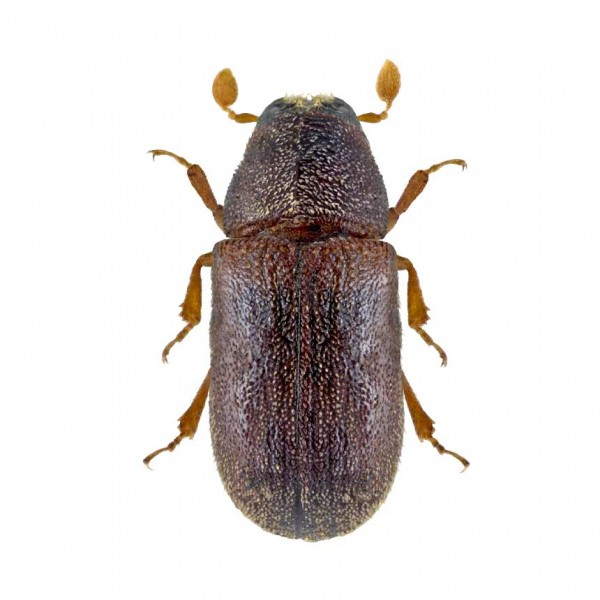 Polywit - Pheromone to attract the small spruce bark beetle (Polygraphus poligraphus)