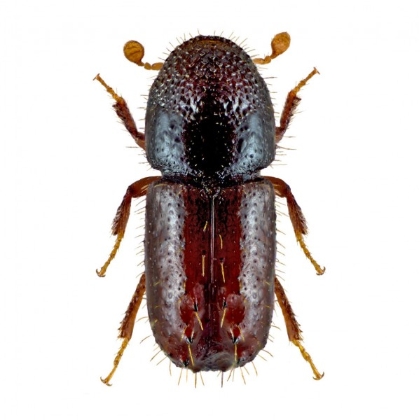 Chalcoprax Ampoule, six-toothed spruce bark beetle (Pityogenes chalcographus)