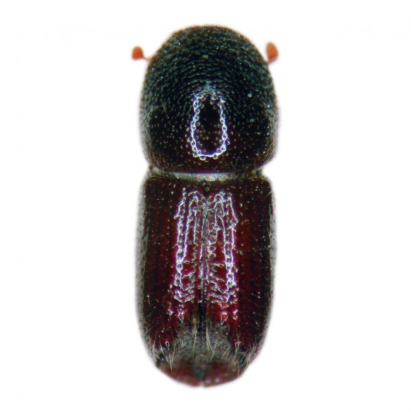 Northern bark beetle (Ips duplicatus), Dupliwit