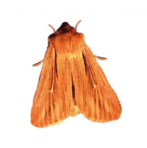 Cork moth (Nemapogon cloacella)