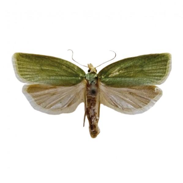 Grean oak tortrix (Tortrix viridana), Tortowit