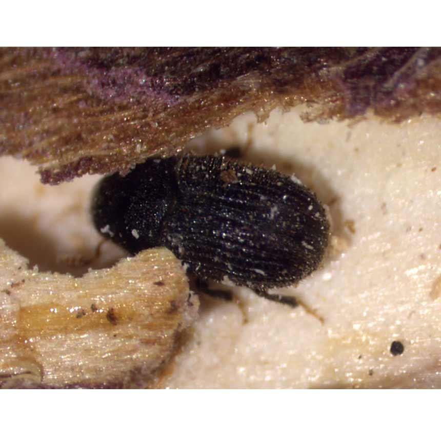 Aubeiowit Plus - Zweifarbiger Thujenborkenkäfer (Phloeosinus aubei)
