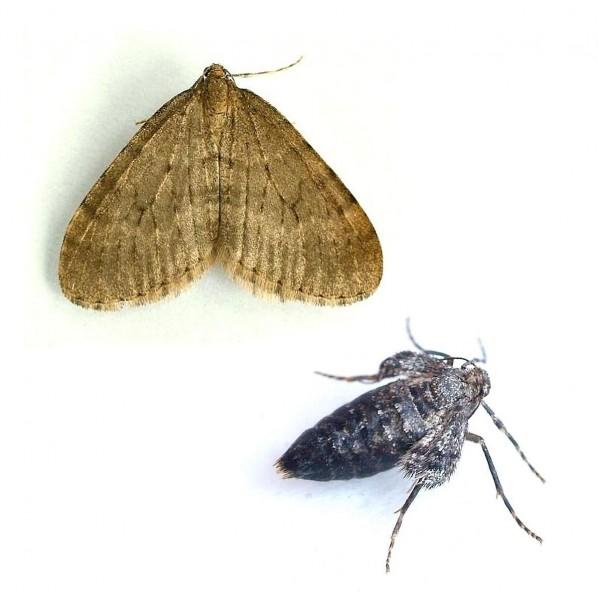 Winter moth (Operophtera brumata), Operowit