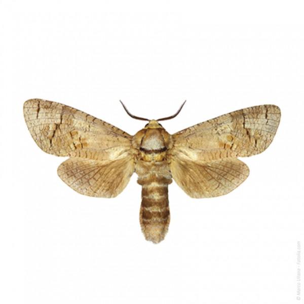 Cossuwit - Weidenbohrer (Cossus cossus)
