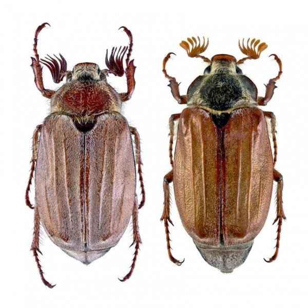 Melowit Kombi - common cockchafer (melolontha melolontha) & forest cockchafer (melolontha hippocastani)