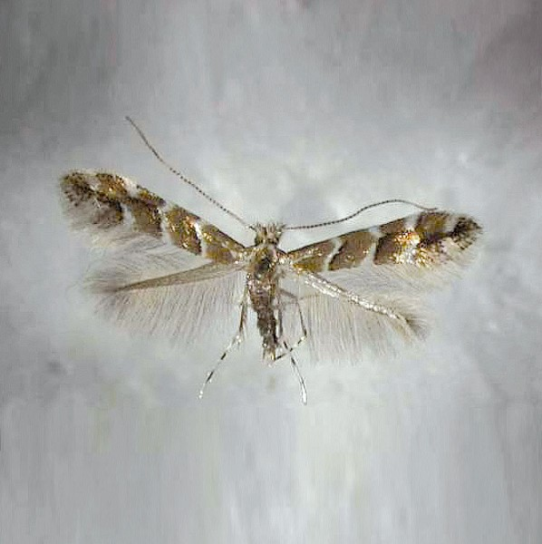 Chestnut leaf miner moth (Cameraria ohridella), Camerariawit