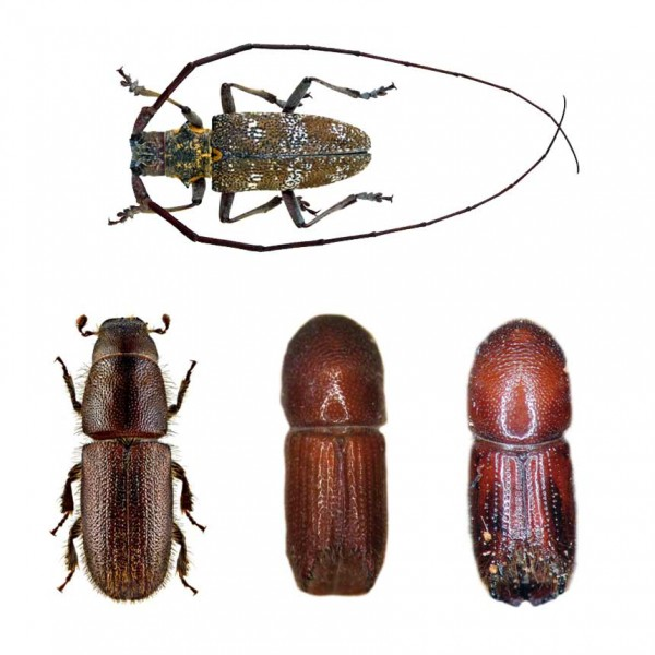 long-horned beetle,six-spined engraver beetle,Mediterranean pine engraver beetle,red-haired pine bark beetle