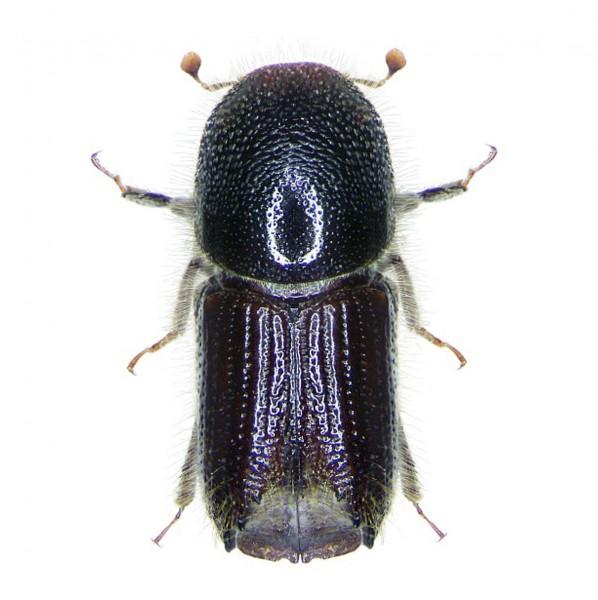 European spruce bark beetle (Ips typographus)