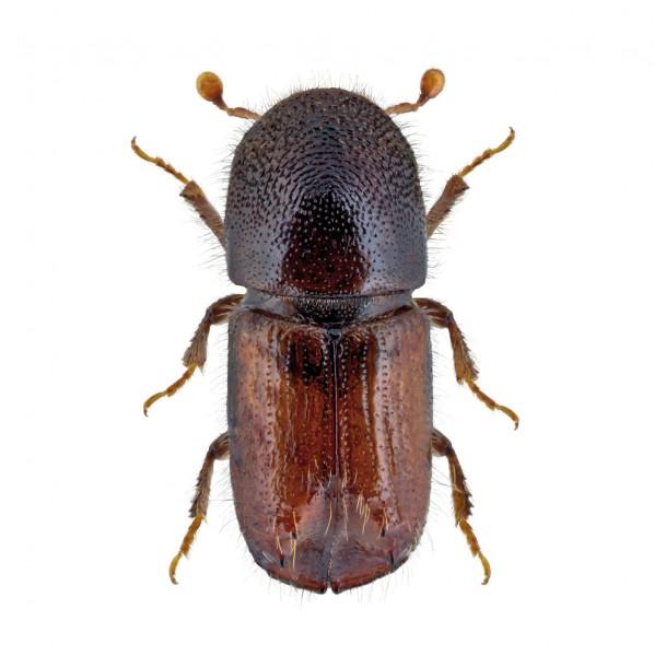 Engraver beetle (Ips acuminatus), Acuwit