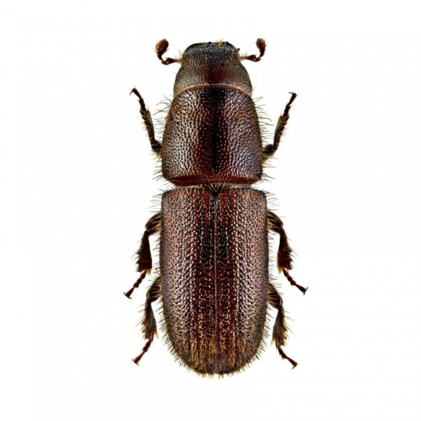 Red-haired pine bark beetle (Hylurgus ligniperda)