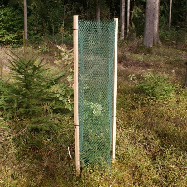 Rauten Freiwuchs - 120 cm